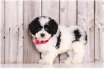 Picture of Trixie - Female Lhasa Poo