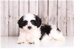 Picture of Scottie - Male Lhasa Poo