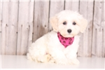 Picture of Addie - Female Lhasa Poo