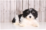 Picture of Minnie - Female Lhasa Poo