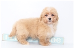 Picture of Presten- Male Lhasa-Poo