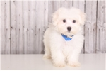 Picture of Marty - Male Maltese