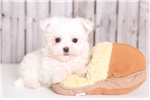 Picture of Wrigley - Male Maltese