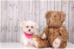 Picture of Maggie - Female Teacup Maltese