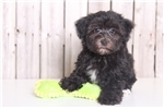 Shorkie for sale