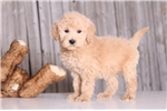 Picture of Cookie - Female Golden Doodle