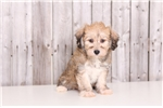 Picture of Faith - Female Morkie