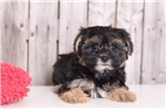 Picture of Abby - Female Morkie