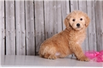 Picture of Diva - Female Golden Doodle