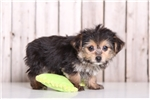 Chief - Male Morkie | Puppy at 14 weeks of age for sale