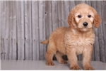 Picture of Bandit - Male Golden Doodle