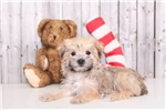 Picture of Blake - Male Morkie