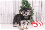 Picture of Maximus - Male Morkie