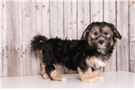 Lhasapoo for sale