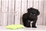 Darius - Male Morkie | Puppy at 14 weeks of age for sale