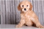 Picture of Mia - Female Golden Doodle