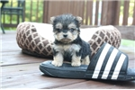 Picture of Chloe - Female Micro Teacup Morkie