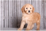 Picture of Charlie - Male Golden Doodle