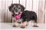 Sandy - Female Morkie | Puppy at 13 weeks of age for sale