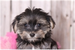 Picture of Ginger - Female Morkie