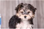 Picture of Junior - Male Teacup Morkie