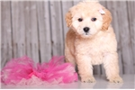 Picture of Cupcake - Female Golden Doodle