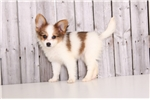 Picture of Donut - Male ICA Papillon