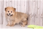 Picture of Parker - Male PomaPoo