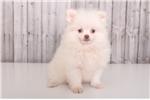 Picture of Biggy - Male Teacup Pomeranian