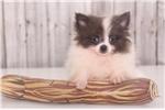 Picture of Joey - Male Teacup Pomeranian