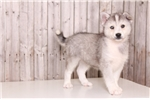 Bling - Female Huskimo | Puppy at 9 weeks of age for sale