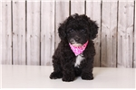 Sparkles - Female Miniature Poodle | Puppy at 12 weeks of age for sale
