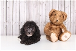 Picture of Marley - Male Poodle