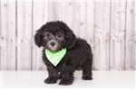 Picture of Sparky - Male Toy Poodle