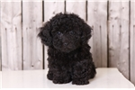 Picture of Zeke - Male Poodle