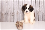 Picture of Buster - Male Saint Bernard