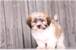 Duke - Male Teddy Bear | Puppy at 9 weeks of age for sale