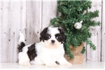 Kingston - Male Shih-tzu | Puppy at 17 weeks of age for sale