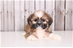Picture of Scooby - Male Shih-tzu