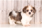 Shihpom for sale