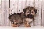 Picture of Pancake - Female Shorkie