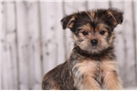 Picture of Dandy - Male Shorkie