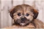 Picture of Coconut - Female Shorkie