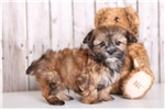 Picture of Rusty - Male Shorkie