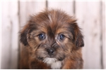 Picture of Twinkle - Female Shorkie