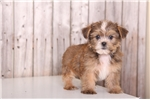 Picture of Halo - Female Shorkie