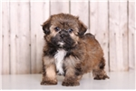 Picture of Bear - Male Shorkie