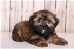 Picture of Oswald - Male Shorkie