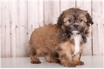 Picture of Beulah - Female Shorkie