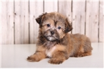 Picture of Fannie - Female Shorkie